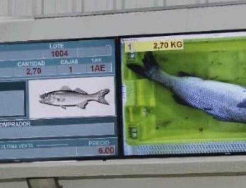 La lonja de Bueu estrena un sistema de subasta automatizado para la venta de pescado
